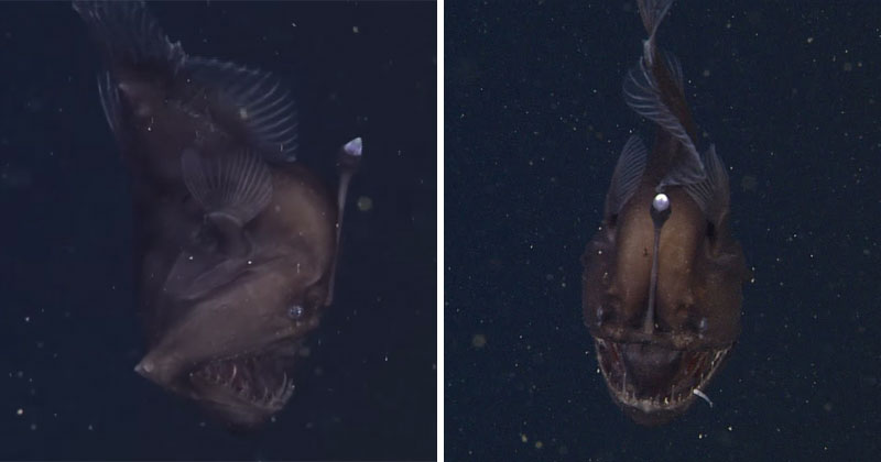 Rare footage of a live anglerfish 2000 ft underwater for Where do angler fish live
