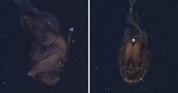 rare-footage-of-live-anglerfish