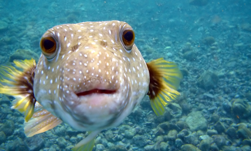Picture of the Day: Kiss from a PufferFish