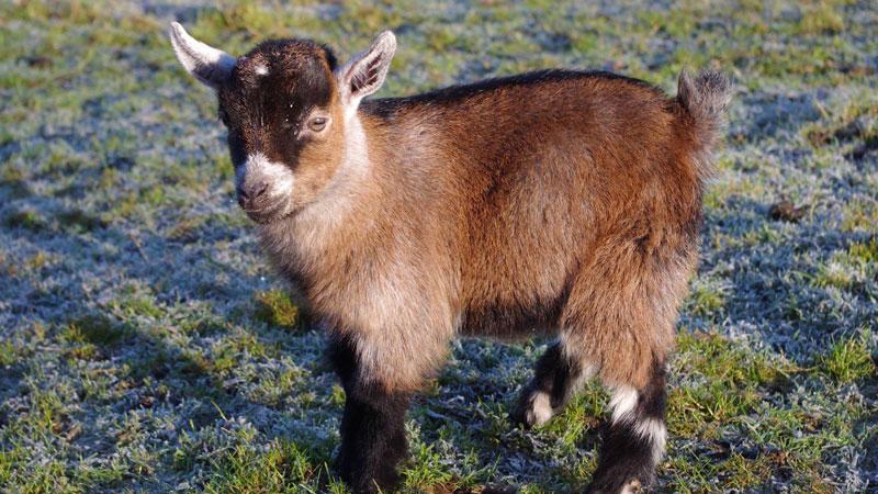 Meet Benjamin, the Orphan Pygmy Goat SweepingBritain