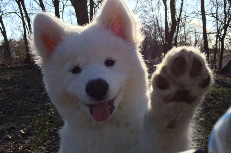 dog waving bye the shirk report volume 296 twistedsifter