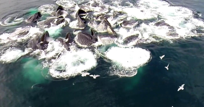 drone captures humpback whales bubble net feeding (1)