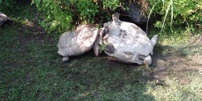 Tortoise Flips Over Friend That's Stuck UpsideDown