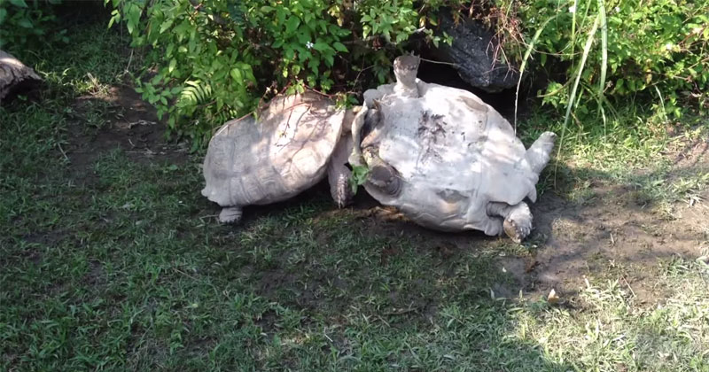 Tortoise Flips Over Friend That's Stuck Upside Down