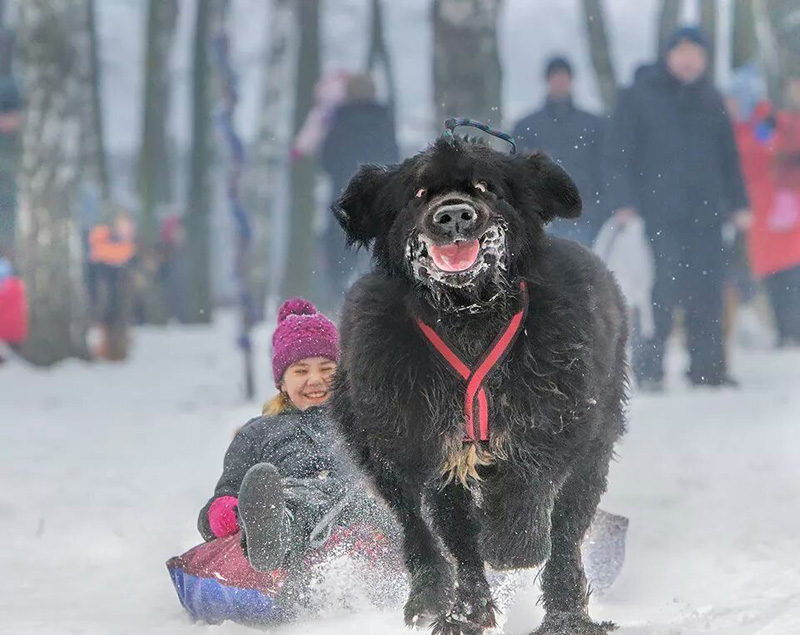 funny dog pulling kid on sled The Shirk Report   Volume 295