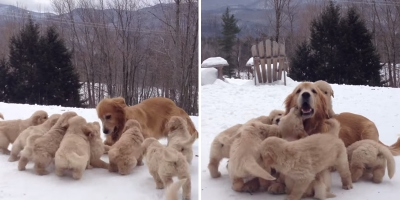 Just a Golden Retriever Playing with Her Nine Puppies in theSnow