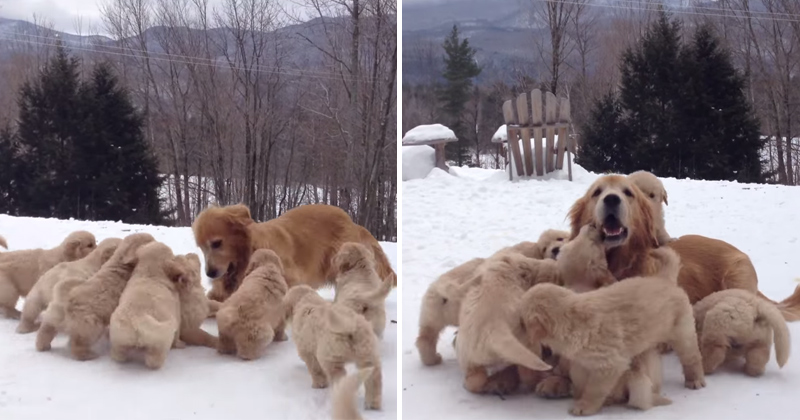 Just a Golden Retriever Playing with Her Nine Puppies in the Snow