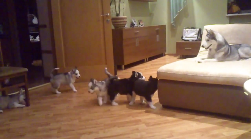 husky-playing-with-her-pups