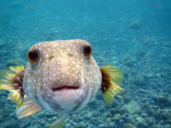 Kiss from a Puffer Fish