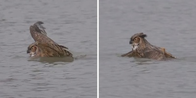 Just an Owl Going for a Swim