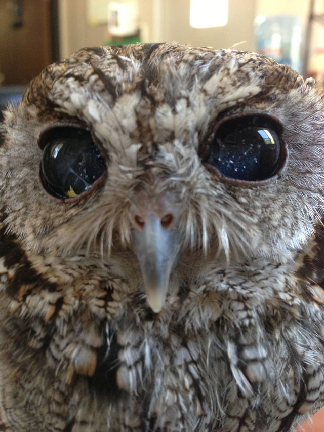 zeus blind owl with starry eyes rescued (2)