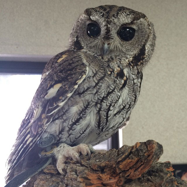 zeus blind owl with starry eyes rescued (5)