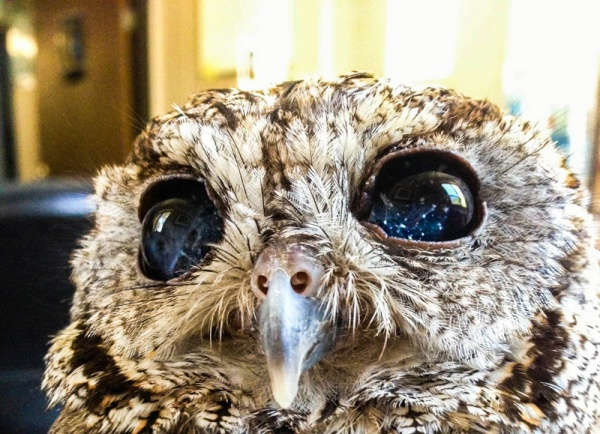 zeus-blind-owl-with-starry-eyes-rescued-(6)