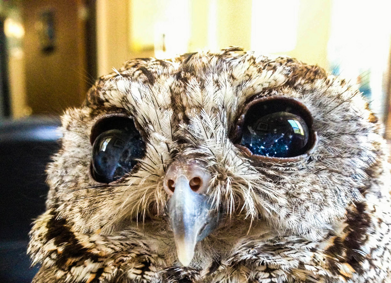 zeus blind owl with starry eyes rescued 6 Handler Shares Her Amazing Images With Birds of Prey