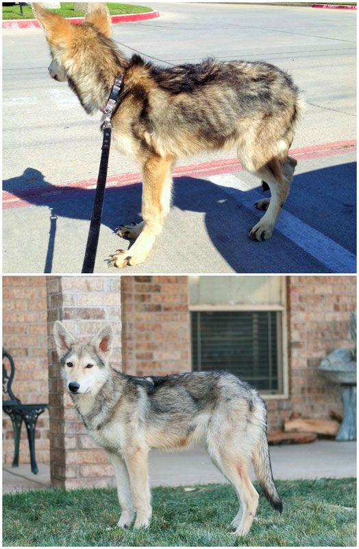 before and after pics of adopted dogs (4)