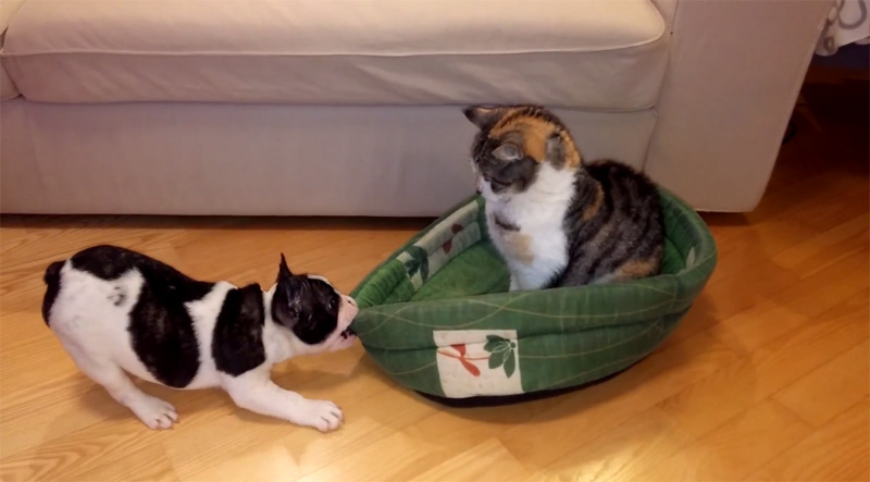 Puppy Wants His Bed Back, Cat Does NotCare