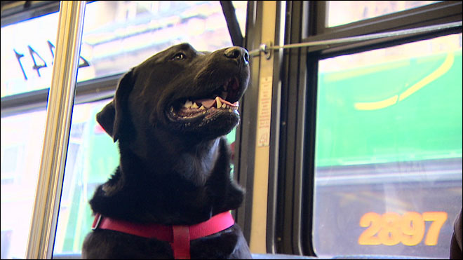 Independent Dog Rides the Bus by Herself to the Park seattle (5)
