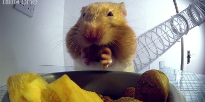 X-Ray Video Shows How Hamsters Can Stuff So Much Food Into TheirCheeks