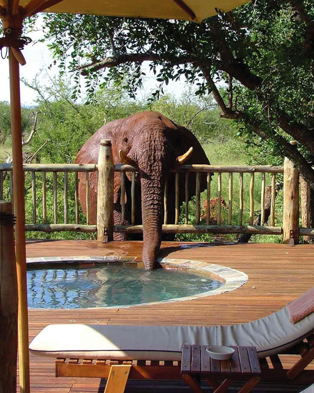 elephant drinking from pool The Shirk Report   Volume 303