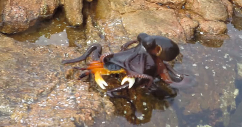 octopus snatches crab off land