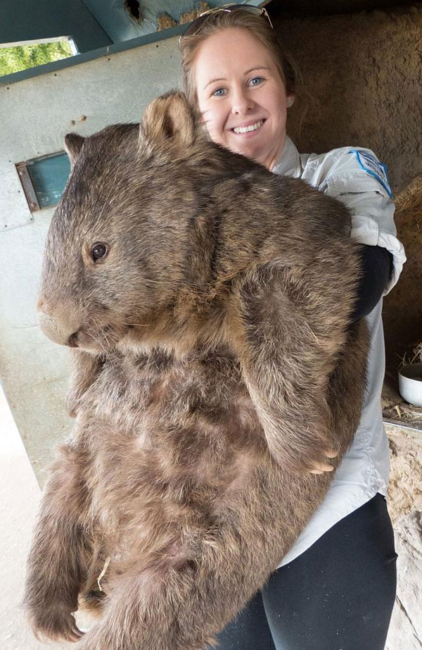 patrick the oldest and largest living wombat (1)