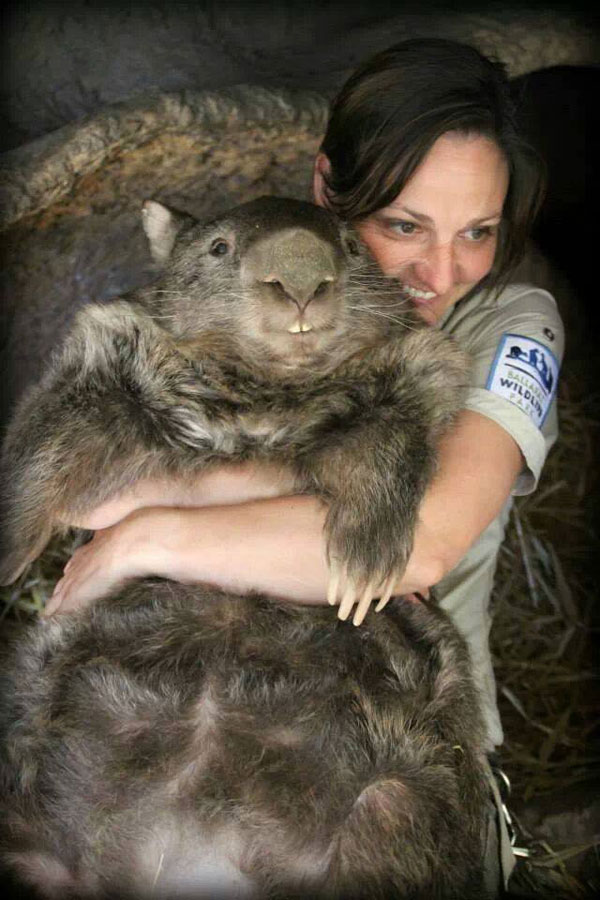 patrick the oldest and largest living wombat (5)