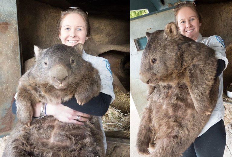 patrick the oldest and largest living wombat