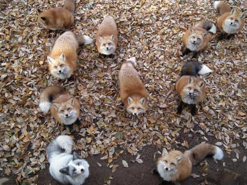 So Apparently There's a Fox Sanctuary in Japan