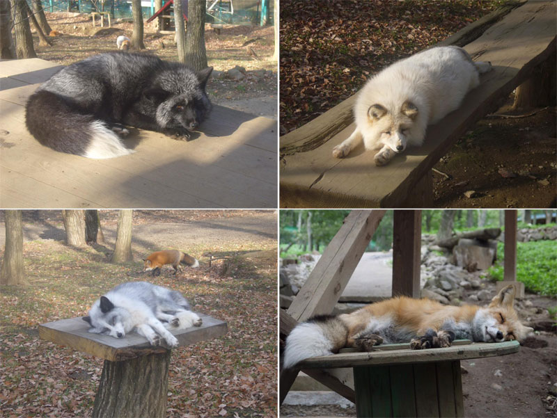 zao fox village sanctuary japan (4)