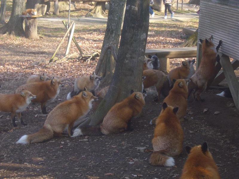 zao fox village sanctuary japan (5)
