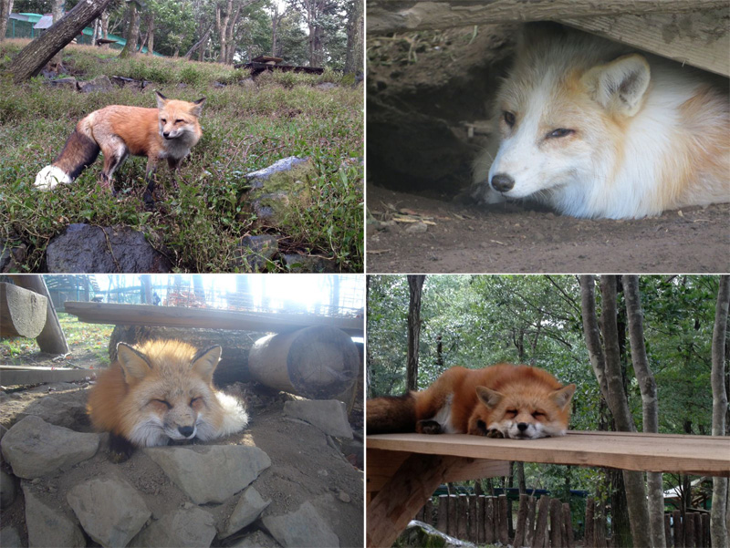 zao fox village sanctuary japan (6)