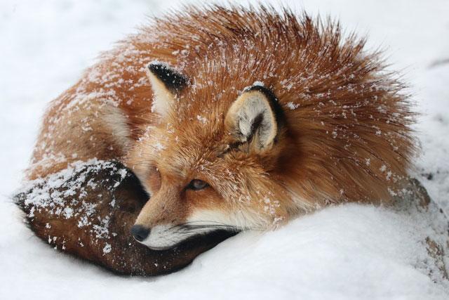 zao fox village sanctuary japan (7)