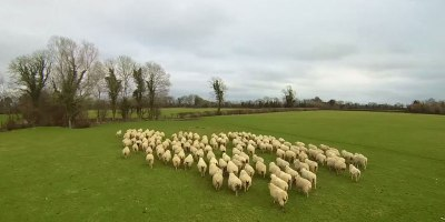 This is What Herding Sheep with a Drone Looks Like