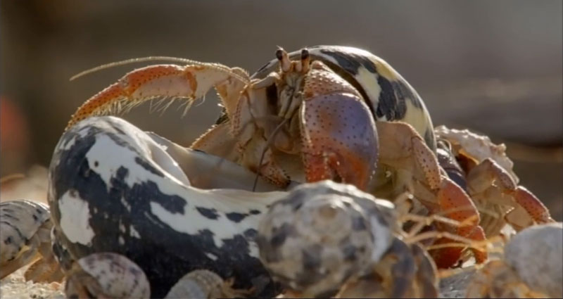The Great Hermit Crab ShellSwap