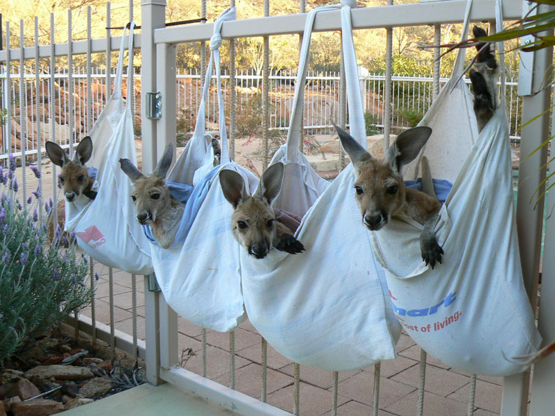 kangaroo dundee chris brolga barns kangaroo sanctuary (11)