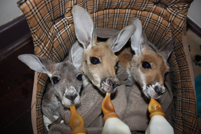 A Sanctuary For Orphaned Kangaroos Whose Mothers Have Been