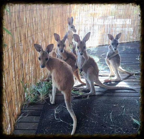 kangaroo dundee chris brolga barns kangaroo sanctuary (13)