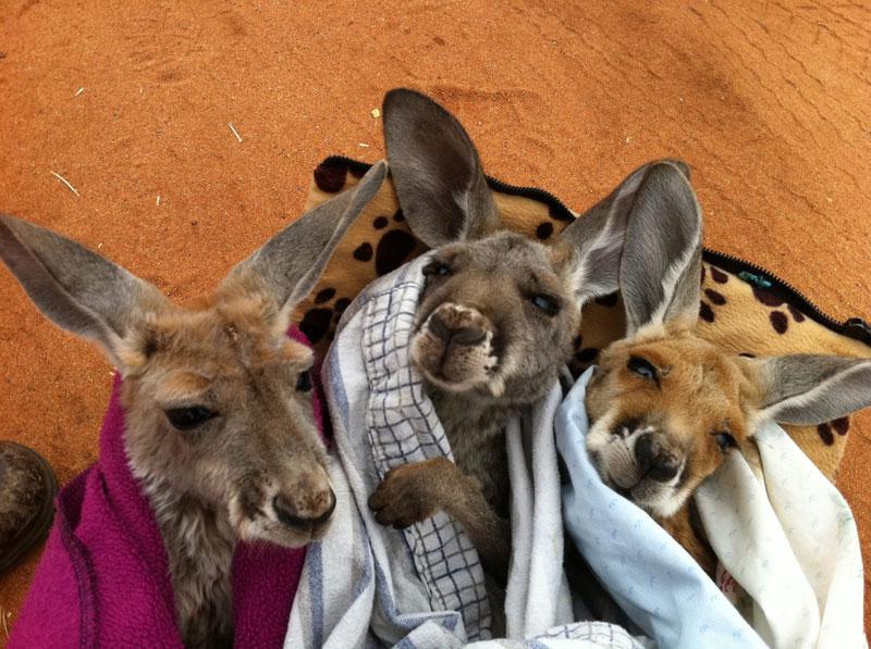 kangaroo dundee chris brolga barns kangaroo sanctuary (14)