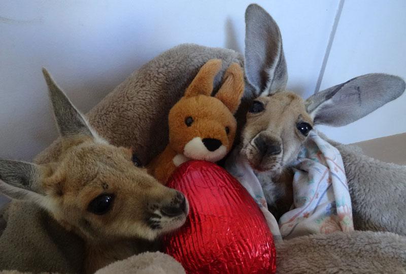 kangaroo dundee chris brolga barns kangaroo sanctuary (16)