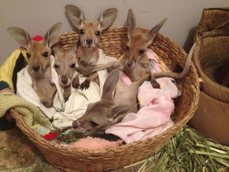 kangaroo dundee chris brolga barns kangaroo sanctuary (7)
