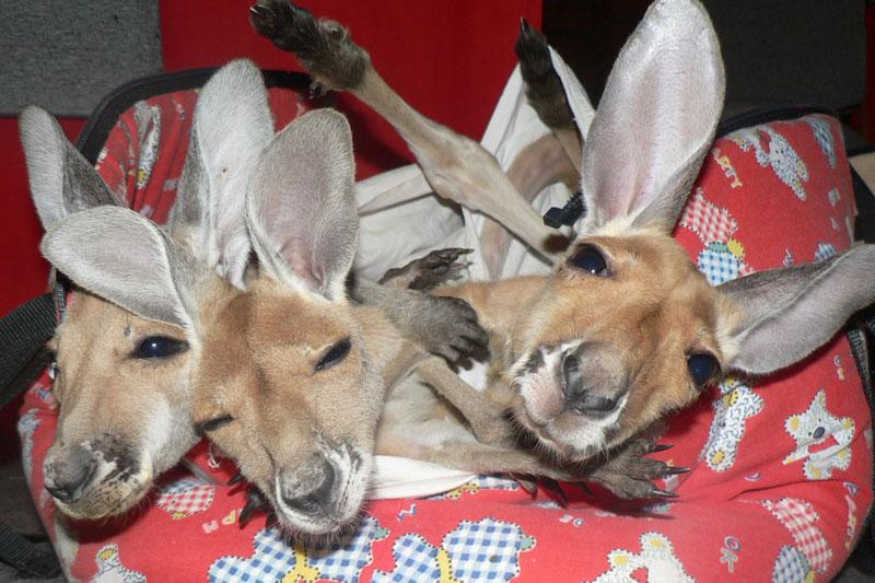 Kangaroo Sanctuary A Sanctuary for Orphan...