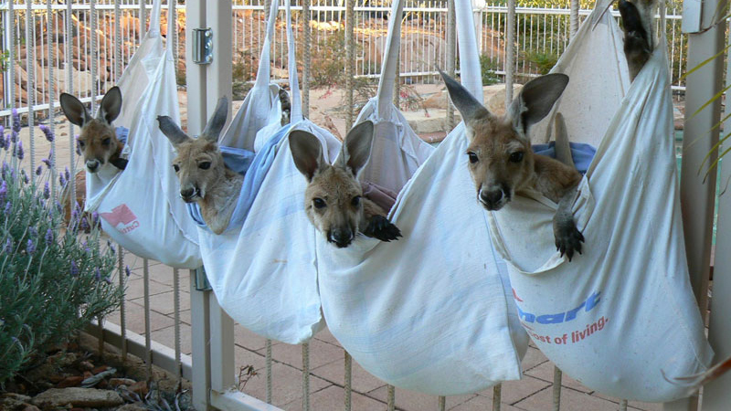 A Sanctuary for Orphaned Kangaroos Whose Mothers Have Been Hit byCars