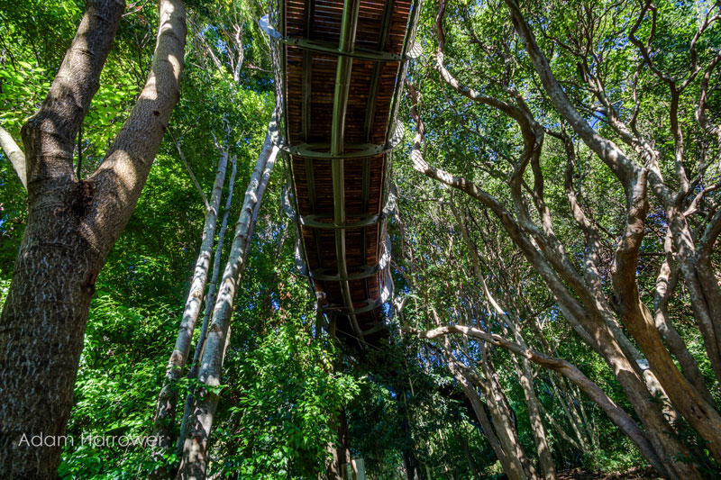 Kirstenbosch tree canopy walkway cape town south africa (11)