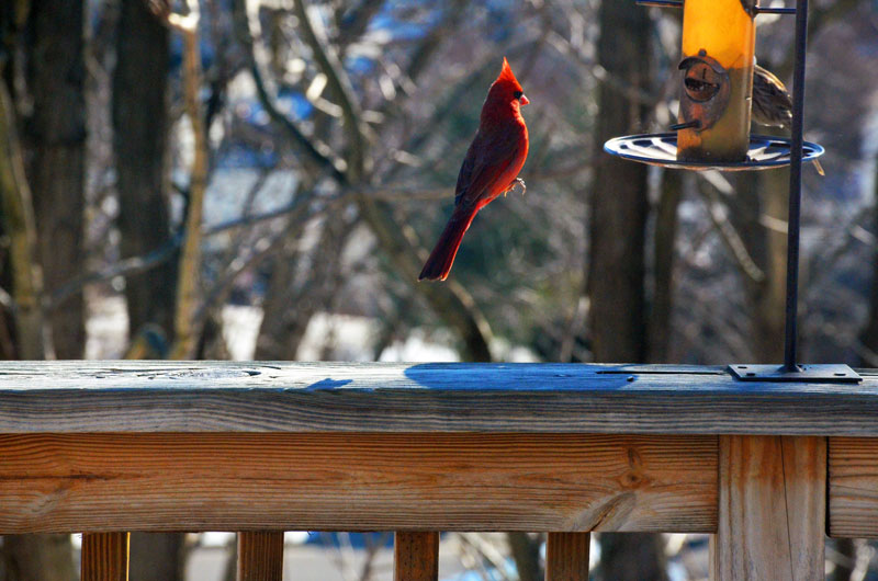 levitating cardinal floating bird perfect timing The Top 25 Pictures of the Day for 2015