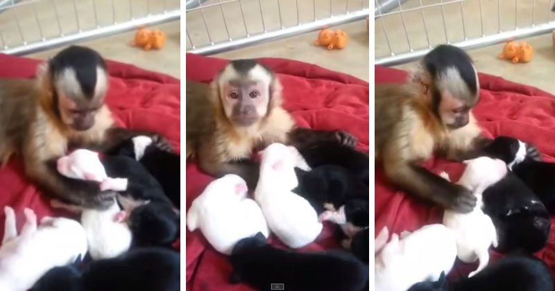 monkey-meets-puppies-video