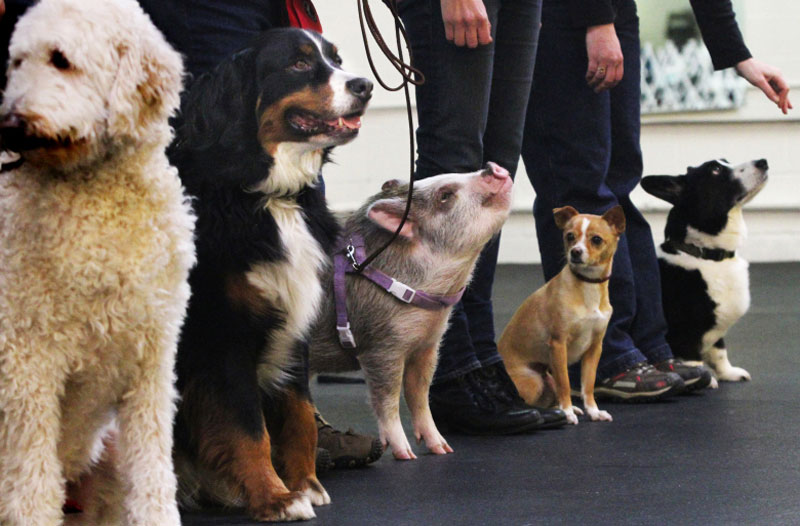 pig in line up of dogs at obedience school The Shirk Report   Volume 308