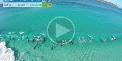 Drone Captures Pod of Dolphins Surfing Waves Off AustralianCoast