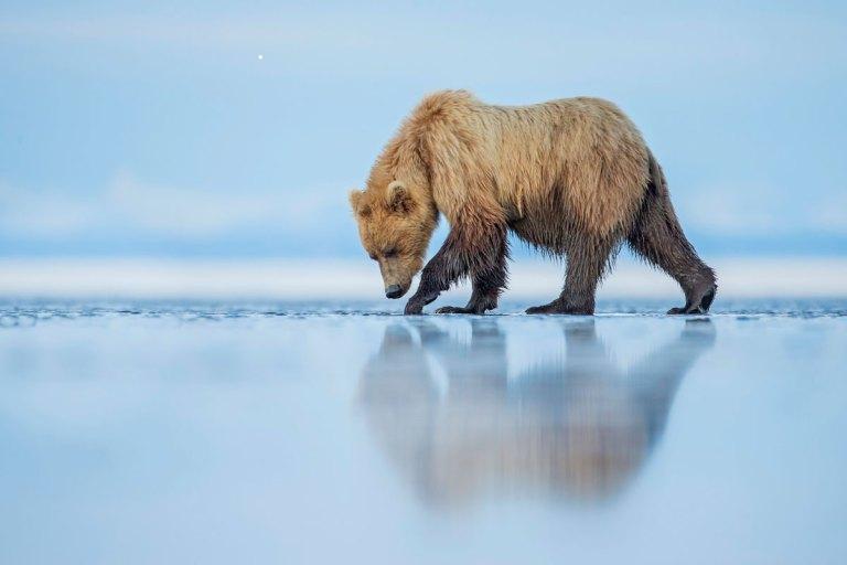 Bear Walks Across An Estuary