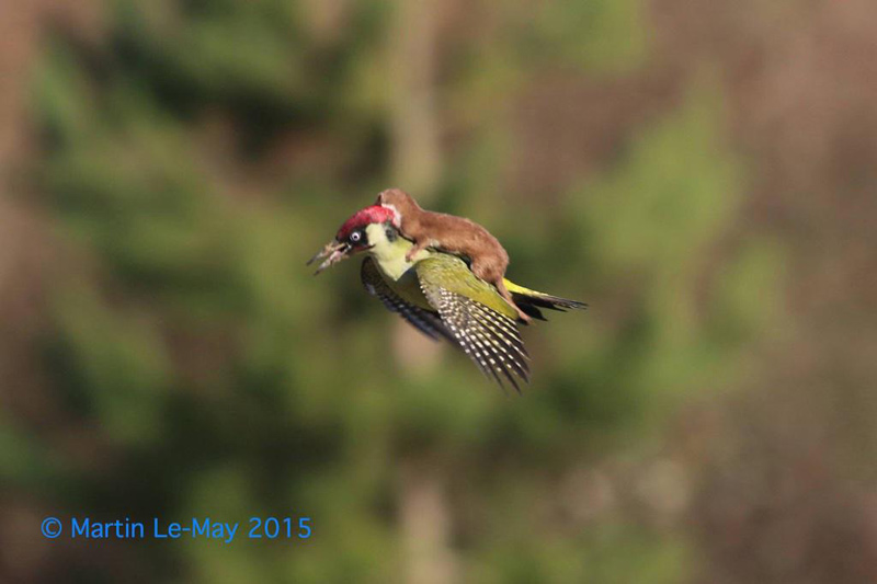 weasel riding woodpecker Photographer Captures Woodpecker Showing Weasel the World
