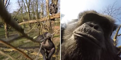 Chimp Uses Branch to Swat Down a Drone and then Takes a Selfie WithIt